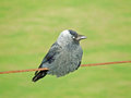 A jackdaw on wire looking right this is cute close up of Stock Photos