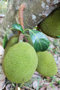 Jackfruit jack or jak scientific name artocarpus heterophyllus on a tree Royalty Free Stock Photos