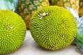 Jackfruit or Jakfruit or Breadfruit Royalty Free Stock Image