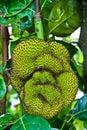 Jackfruit in Thailand Stock Images
