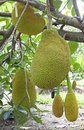 Jackfruit tree hanging fruit sweetened soft green fruit Stock Images
