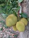Jackfruit tree leaf sweet asia eat green Stock Image