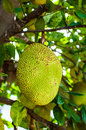 Jackfruit tree poppular thai fruit Stock Image