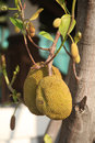 Jackfruit Trees Stock Photos