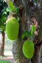 Jackfruits Royalty Free Stock Photos