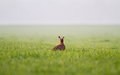 Jackrabbit in grass on a hazy morning a meadow Royalty Free Stock Image