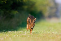 Jackrabbit running a hare and jumping Stock Photography