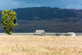 Jackson wyoming usa september view of mormon row near ja on Stock Images