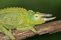 Jacksons chameleon close up of a perched trioceros jacksonii Stock Images