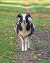 Jacob`s Sheep - Ovis aries on a parkland path, Warwickshire, England. Royalty Free Stock Photo