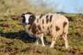 Jacob Sheep Looking.