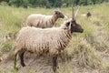Jacobs Sheeps