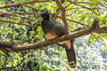 Jacutinga parque das aves foz do iguacu brazil at Stock Image