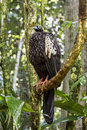 Jacutinga parque das aves foz do iguacu brazil at Stock Photos