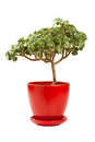 Jade money tree (Crassula ovata) in flowerpot Stock Image