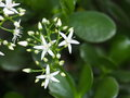 Jade Plant In Bloom Royalty Free Stock Photo