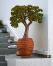 Jade plant in ceramic flowerpot Royalty Free Stock Photo