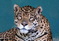 Jaguar Photo libre de droits