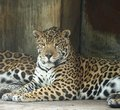 The jaguar Royalty Free Stock Photos