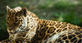Jaguar Royalty Free Stock Photo