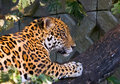 Jaguar climbing Stock Photos