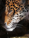 Jaguar close up detail of face with water drips Royalty Free Stock Image