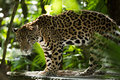 Jaguar Closeup In Jungle