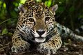 Jaguar closeup in jungle Royalty Free Stock Photo