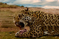 Jaguar consuming its kill Royalty Free Stock Image