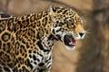 Jaguar growling Royalty Free Stock Photo