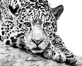 Jaguar IV Royalty Free Stock Photo