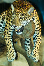 Jaguar lives in central america and south america Royalty Free Stock Photos