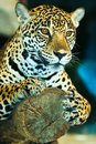 Jaguar lives in central america and south america Stock Image