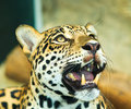 Jaguar lives in central america and south america Royalty Free Stock Images