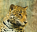 Jaguar lives in central america and south america Royalty Free Stock Photography