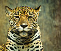 Jaguar lives in central america and south america Royalty Free Stock Photo