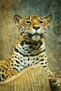 Jaguar lives in central america and south america Stock Photo