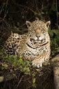 Jaguar lying by log in dense forest