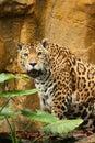Jaguar male photo 免版税库存照片