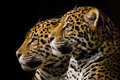 Jaguar Pair III Royalty Free Stock Photo