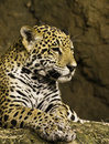 Jaguar panthera cub looking to the side Stock Photo
