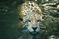 Jaguar - Panthera onca Stock Photography