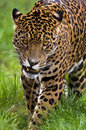Jaguar - Panthera onca - Brazil Royalty Free Stock Photo
