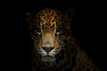 Jaguar ( Panthera onca ) in the dark Royalty Free Stock Photo