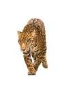 Jaguar ( panthera onca ) isolated Royalty Free Stock Photo