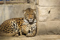 Jaguar panthera onca in new delhi zoo Royalty Free Stock Photography