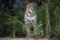 Jaguar, Panthera onca Royalty Free Stock Photo