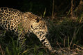 Jaguar panthera onca single mammal in the pantanal brazil Stock Images