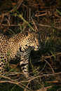Jaguar panthera onca single mammal in the pantanal brazil Stock Photo
