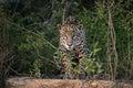 Jaguar panthera onca single mammal in the pantanal brazil Stock Photography